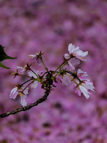 Cherry blossoms 5 3