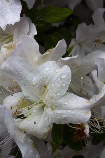 Spring flowers and raindrops 7