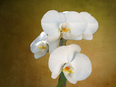 White orchids digital painting