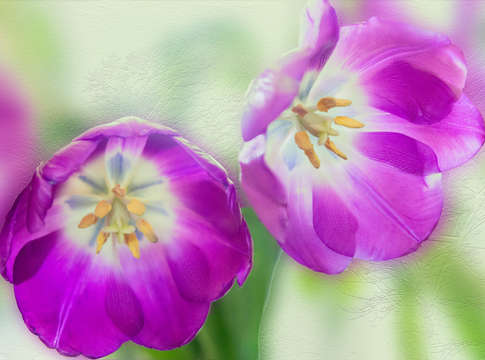 Purple tulips 02