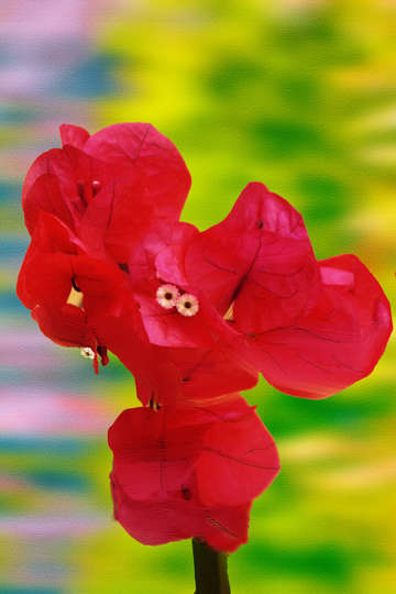 Bougainvillia digital painting