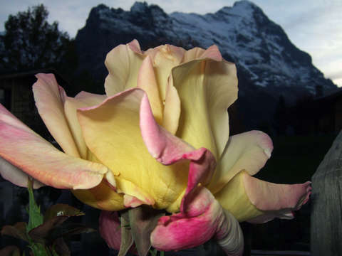 Switzerland mountain rose