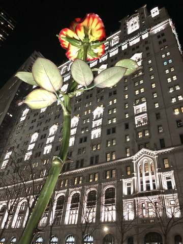 A rose in fidi new york