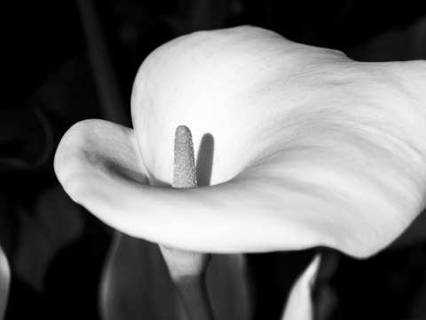 The lovliest lily monochrome
