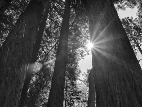 Shine on in the redwoods monochrome