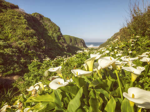 Calla lilies reaching to the sea