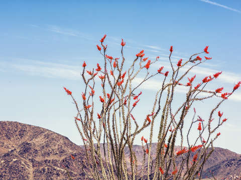 Bloom ocotillo bloom 1