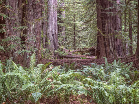 Get lost in the redwoods prairie creek