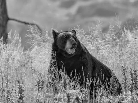 Wild black bear bw