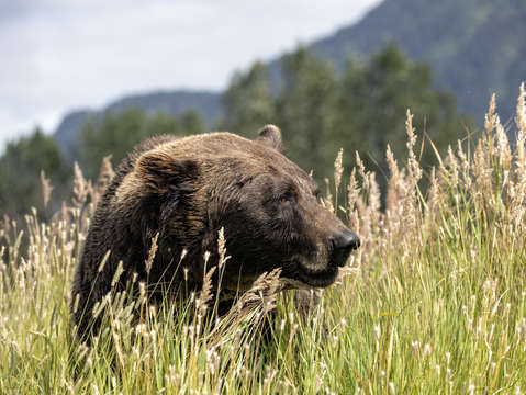 Brown bear in mountains