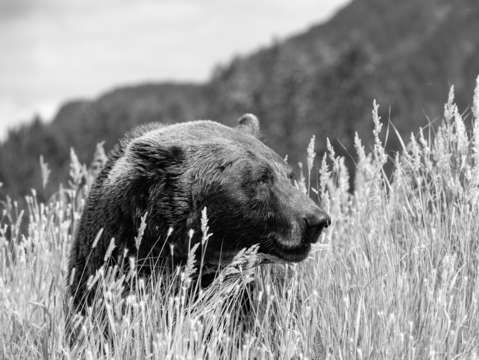 Brown bear in mountains bw
