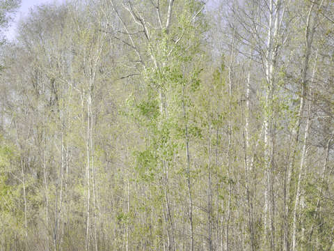 Birches and Poplars