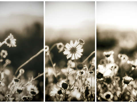 Sepia morning triptych