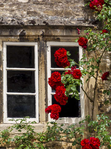 Window and climbing roses