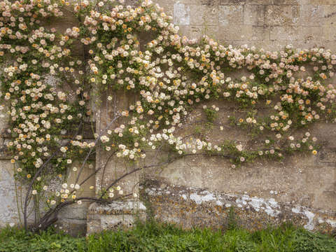 Climbing roses on lacock abbey