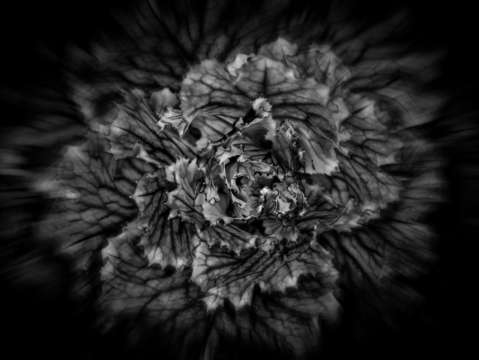 Backyard flowers in black and white 42 flow versio