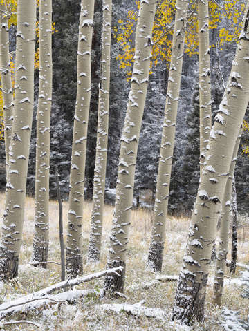 Aspens in snow