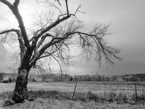 Old winter tree grayscale