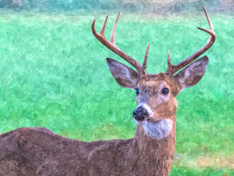 Seven point buck painterly