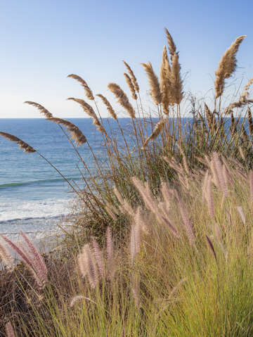 Pampas grasses at ocean