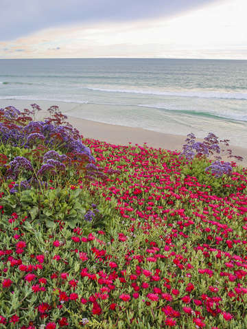 Blooming ice plants at beach