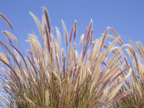 Grasses blowing in wind