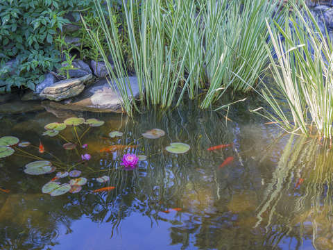 Koi pond with water lilies