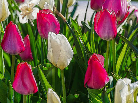 Pink and white tulips painterly