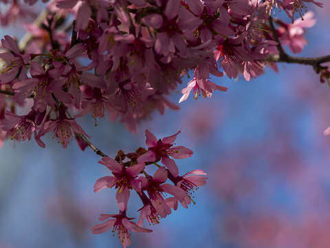 Cherry blossoms 13