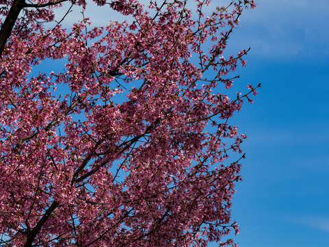 Cherry blossoms 14