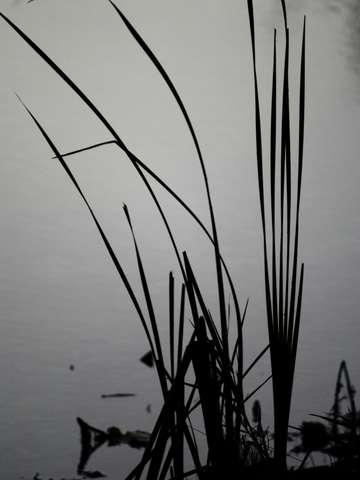 Reeds in the morning