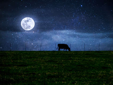 Milky way cattle moonlight