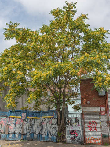 A tree grows in brooklyn nyc