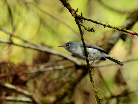 Blue gray gnatcatcher in the florida swamp