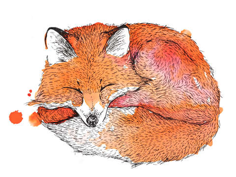 Napping fox