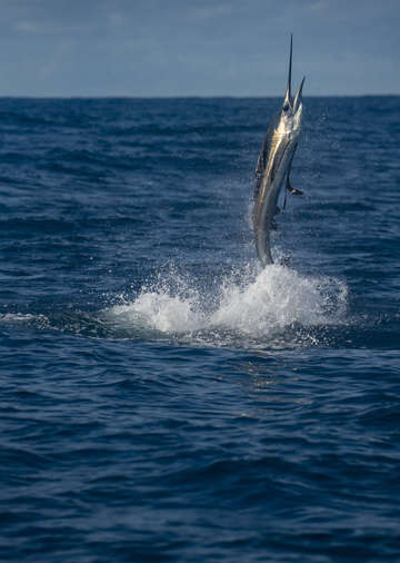 Sailfish costa rica