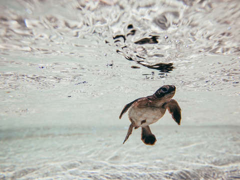 Baby green sea turtle white background