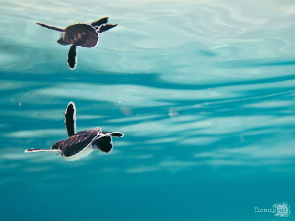 Baby green sea turtle and blue water