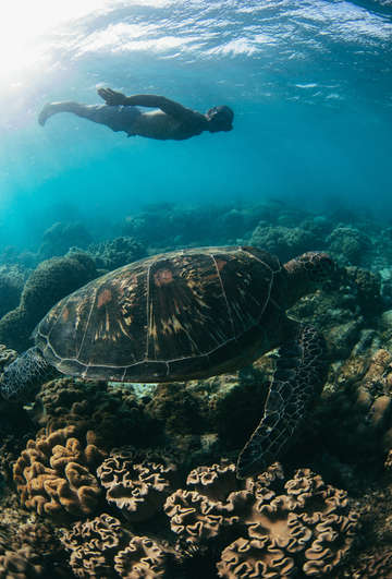 Green sea turtle with freediver
