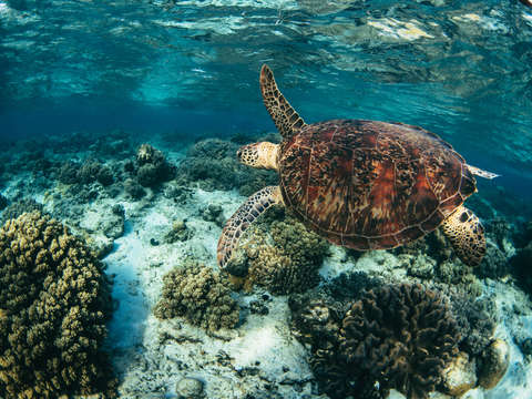 Green sea turtle and coral garden
