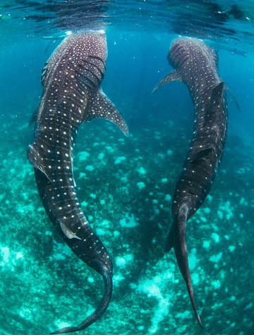 Pair of whale sharks in blue sea