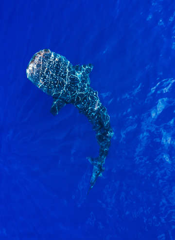 Aerial view of whale shark in blue sea