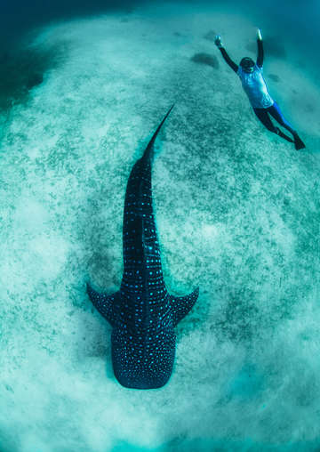 Whale shark with freediver in blue sea 3