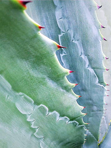 Succulent spines abstract