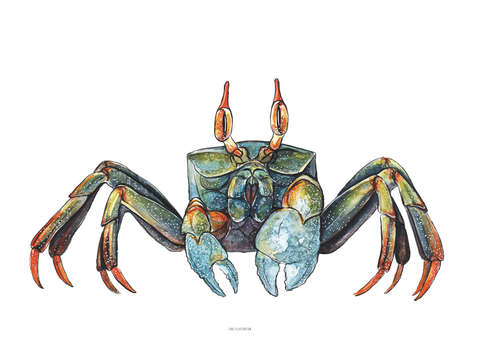 Colorful ghost crab
