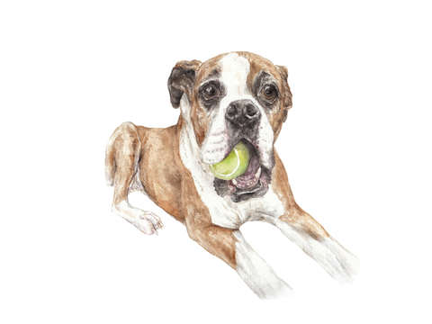 Boxer dog with tennis ball
