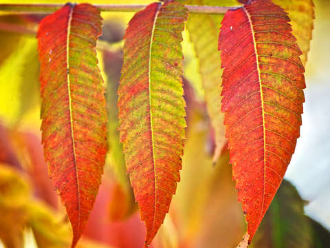 Autumn Leaves: Trio