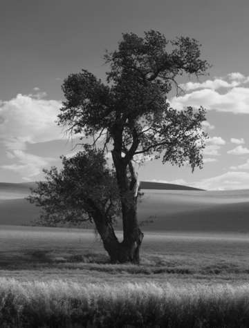 Cottonwood in black and white