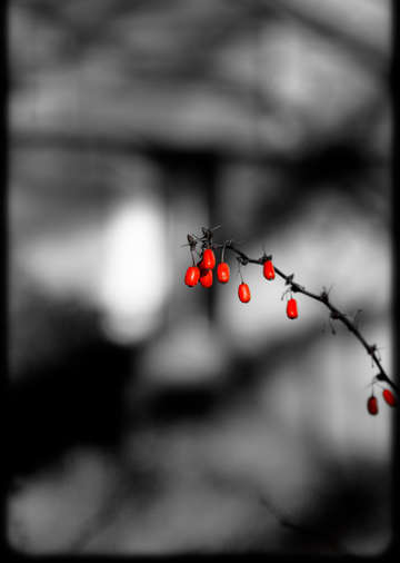 The red berries