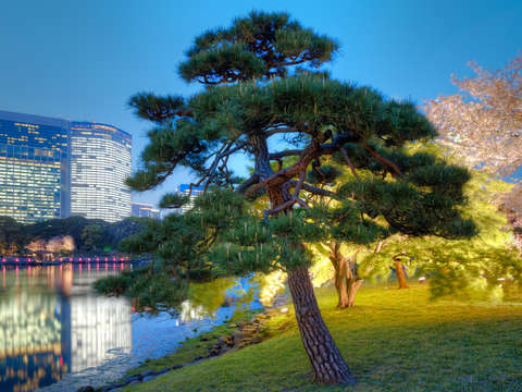Tree at Hamarikyu Gardens